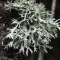 graphisme et nature - lichen 03